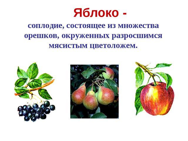 Яблоко - соплодие, состоящее из множества орешков, окруженных разросшимся мяс...