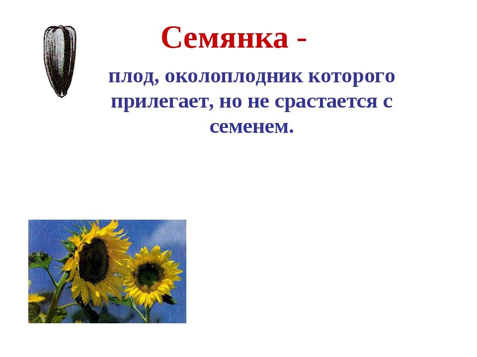 Семянка - плод, околоплодник которого прилегает, но не срастается с семенем....
