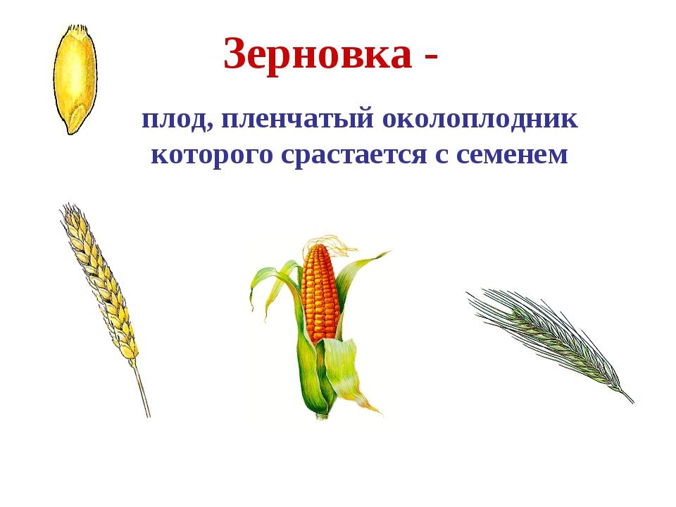 Зерновка - плод, пленчатый околоплодник которого срастается с семенем Пшеница...