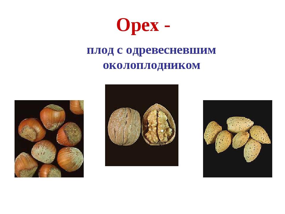 Орех - плод с одревесневшим околоплодником Фундук Грецкий орех Миндаль