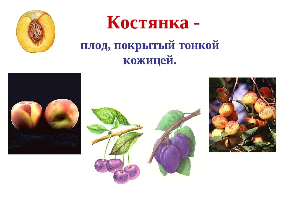 Костянка - плод, покрытый тонкой кожицей. Абрикос Персик Вишня Слива