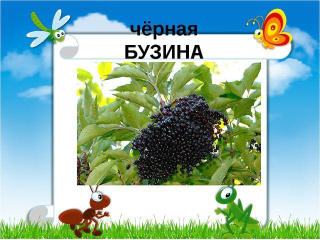 чёрная БУЗИНА