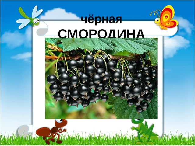чёрная СМОРОДИНА
