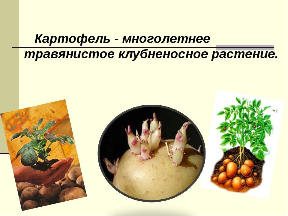 Картофель - многолетнее травянистое клубненосное растение.