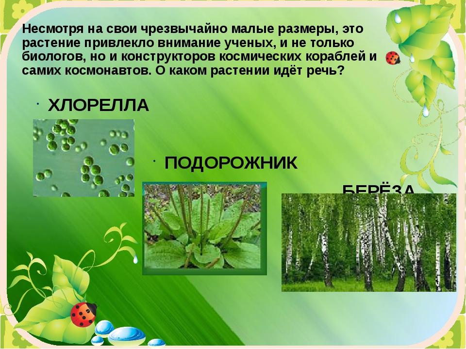 Несмотря на свои чрезвычайно малые размеры, это растение привлекло внимание у...