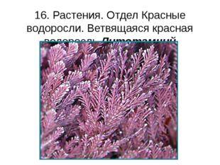 16. Растения. Отдел Красные водоросли. Ветвящаяся красная водоросль Литотамний