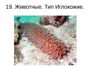 19. Животные. Тип Иглокожие. Морской огурец