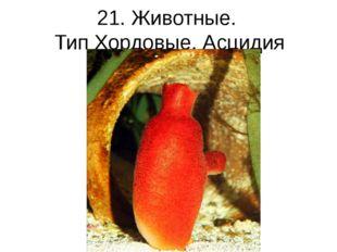 21. Животные. Тип Хордовые. Асцидия
