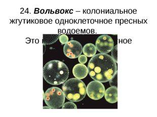 24. Вольвокс – колониальное жгутиковое одноклеточное пресных водоемов. Это и