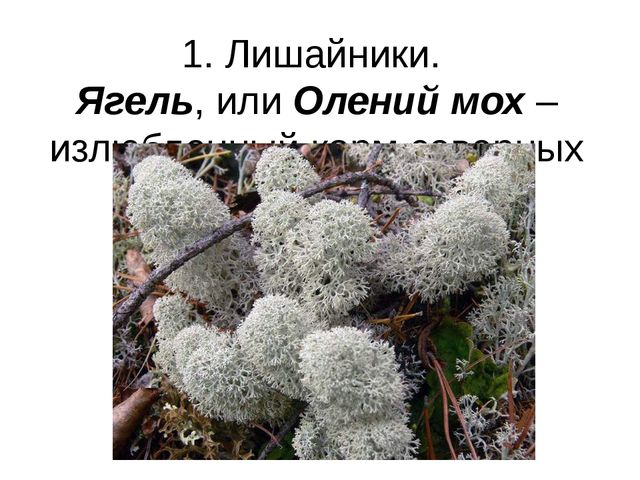 1. Лишайники. Ягель, или Олений мох – излюбленный корм северных оленей