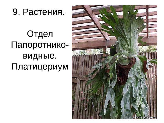 9. Растения. Отдел Папоротнико-видные. Платицериум