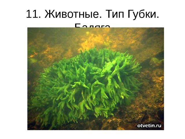 11. Животные. Тип Губки. Бадяга