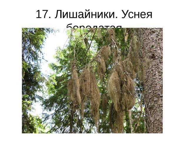 17. Лишайники. Уснея бородатая