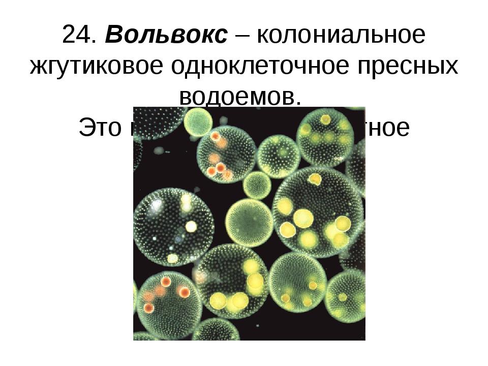 24. Вольвокс – колониальное жгутиковое одноклеточное пресных водоемов. Это и...