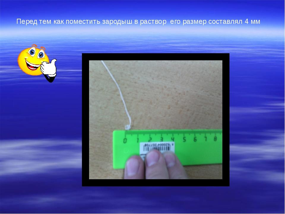 Перед тем как поместить зародыш в раствор  его размер составлял 4 мм