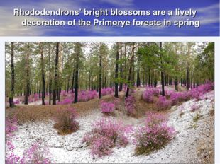 Rhododendrons' bright blossoms are a lively decoration of the Primorye forest