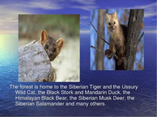 The forest is home to the Siberian Tiger and the Ussury Wild Cat, the Black S