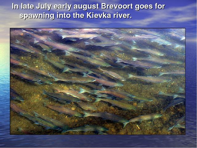 In late July early august Brevoort goes for spawning into the Kievka river.