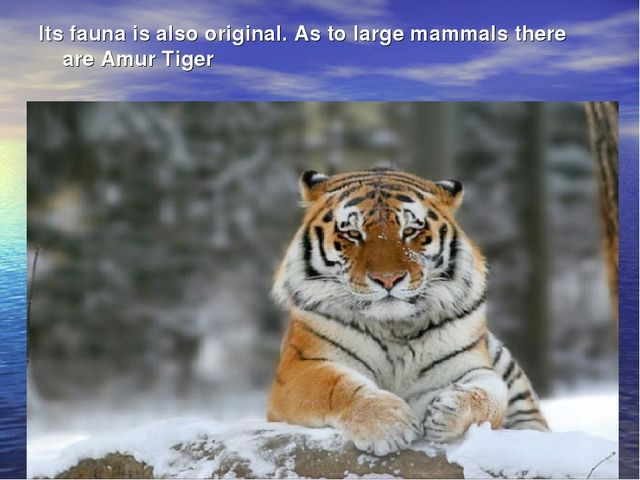 Its fauna is also original. As to large mammals there are Amur Tiger