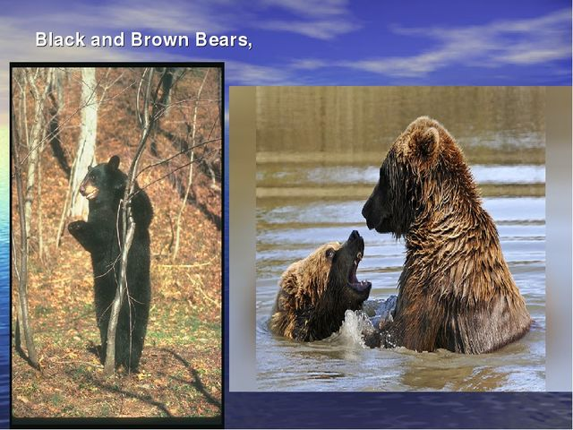Black and Brown Bears,