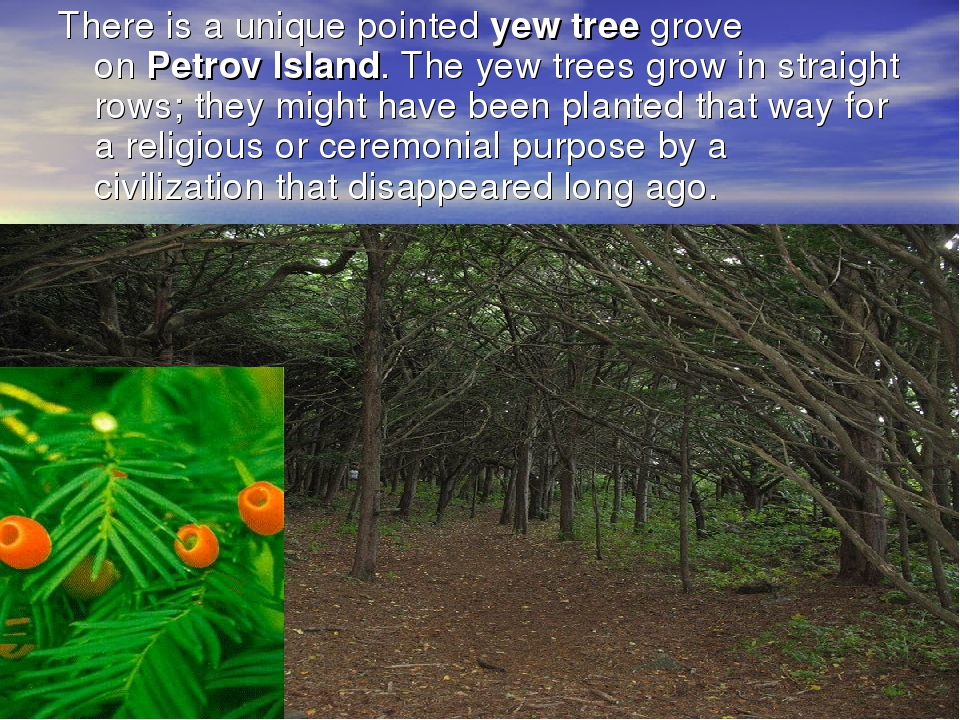 There is a unique pointed yew tree grove on Petrov Island. The yew trees grow...