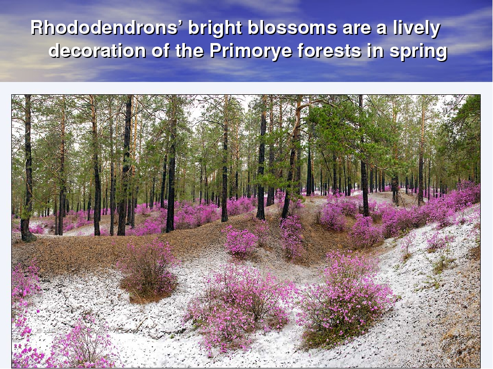 Rhododendrons' bright blossoms are a lively decoration of the Primorye forest...