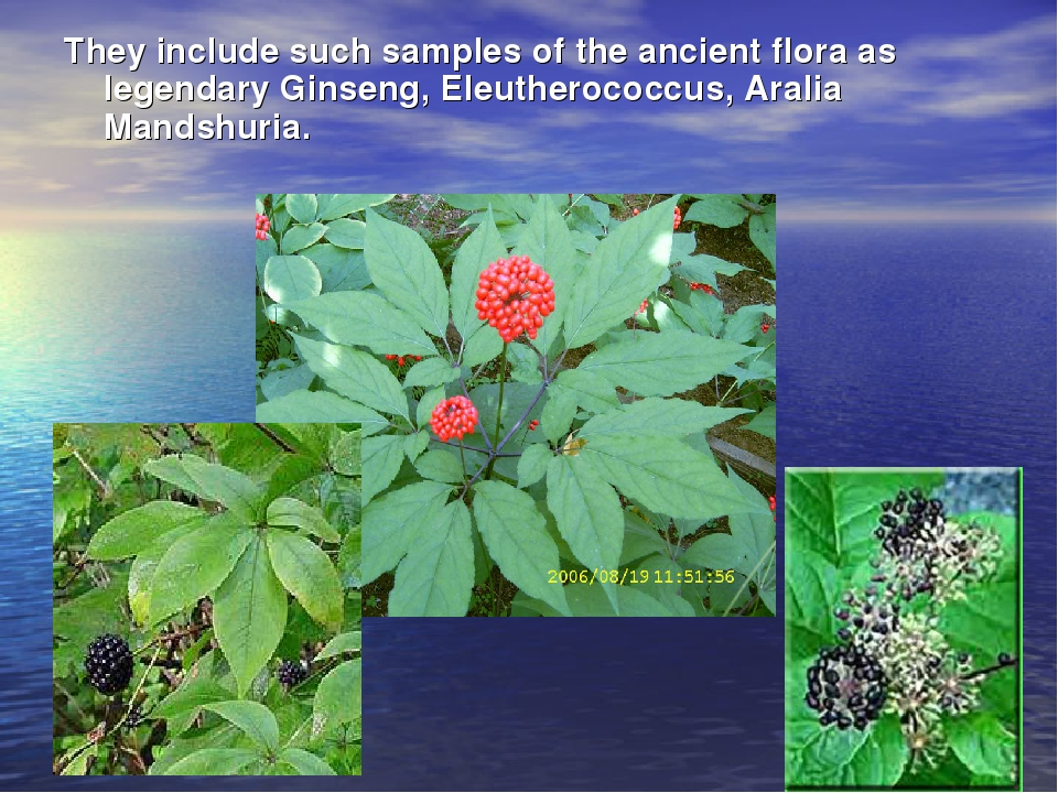 They include such samples of the ancient flora as legendary Ginseng, Eleuther...