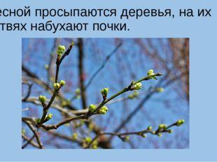 Весной просыпаются деревья, на их ветвях набухают почки.