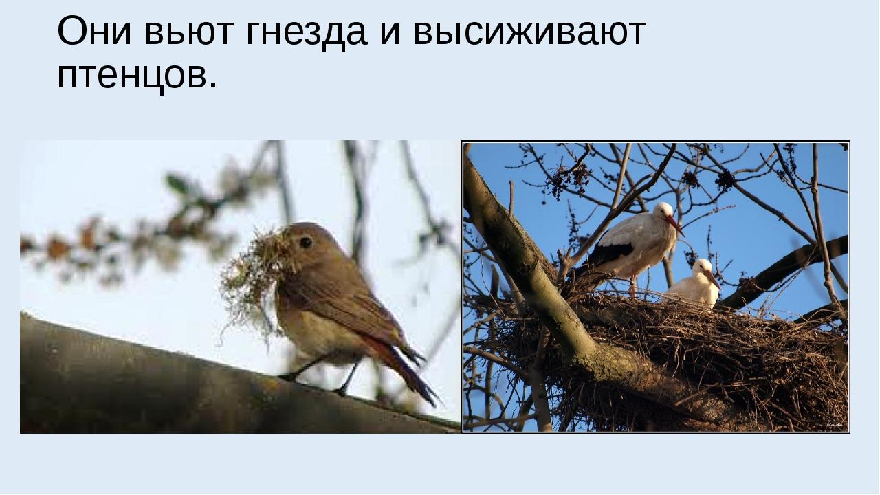 Они вьют гнезда и высиживают птенцов.