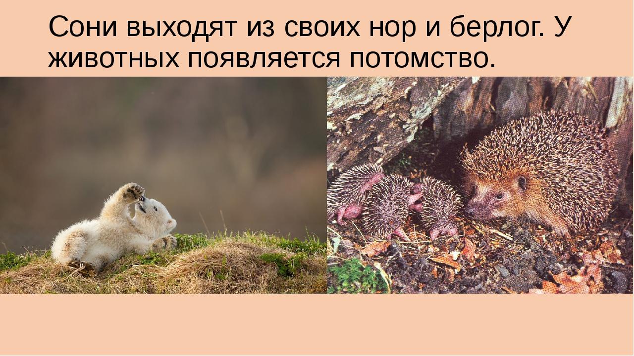 Сони выходят из своих нор и берлог. У животных появляется потомство.