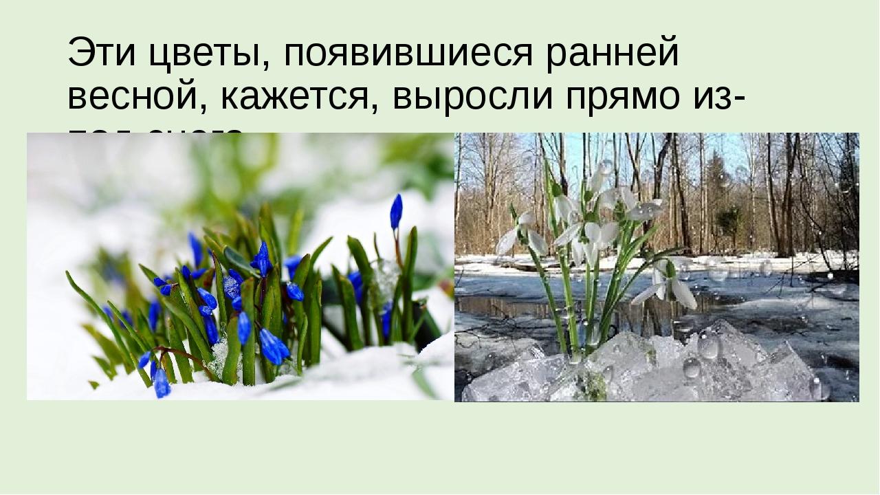 Эти цветы, появившиеся ранней весной, кажется, выросли прямо из-под снега