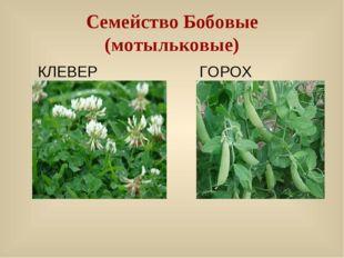 КЛЕВЕР ГОРОХ Семейство Бобовые (мотыльковые)