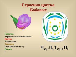 Строения цветка Бобовых Чашечка 5 сросшихся чашелистиков; Венчик 5 лепестков;