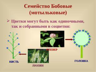 Семейство Бобовые (мотыльковые) Цветки могут быть как одиночными, так и собра