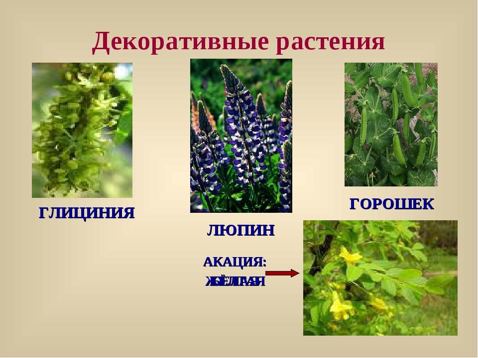 Декоративные растения ГОРОШЕК ЛЮПИН ГЛИЦИНИЯ АКАЦИЯ: БЕЛАЯ АКАЦИЯ: ЖЁЛТАЯ
