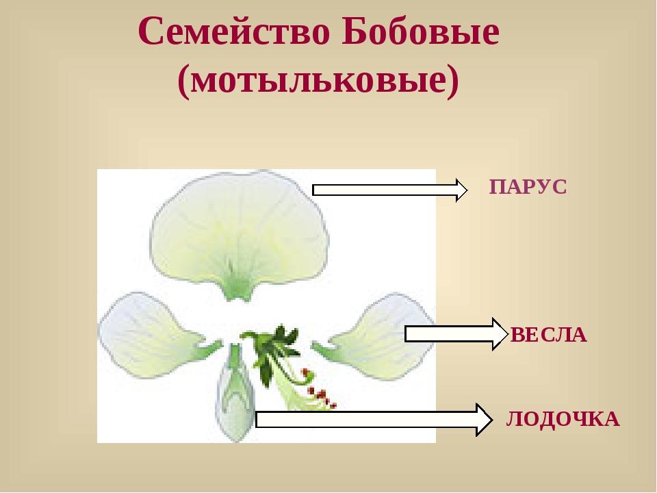 ПАРУС Семейство Бобовые (мотыльковые) ЛОДОЧКА ВЕСЛА