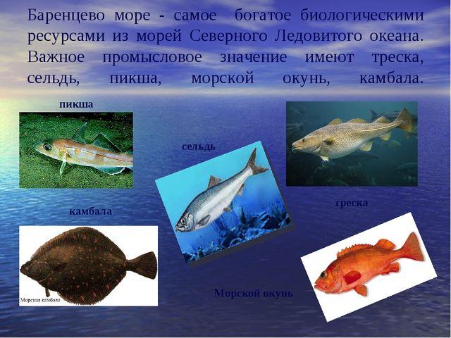 Баренцево море - самое богатое биологическими ресурсами из морей Северного Л...