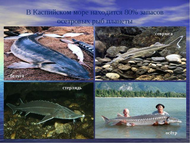 В Каспийском море находится 80% запасов осетровых рыб планеты белуга севрюга...