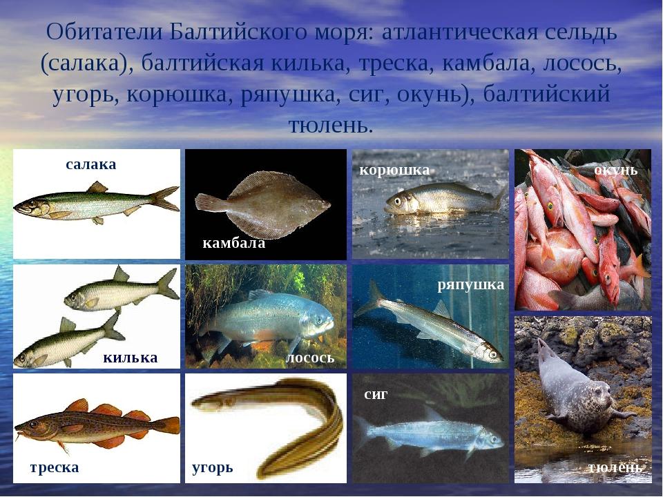 Обитатели Балтийского моря: атлантическая сельдь (салака), балтийская килька...