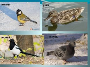 синица утка сорока голубь