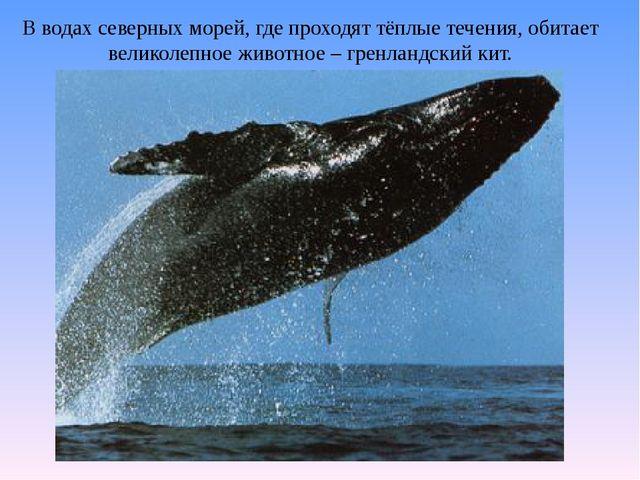 В водах северных морей, где проходят тёплые течения, обитает великолепное жив...