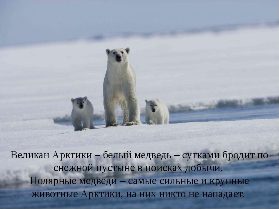 Великан Арктики – белый медведь – сутками бродит по снежной пустыне в поисках...