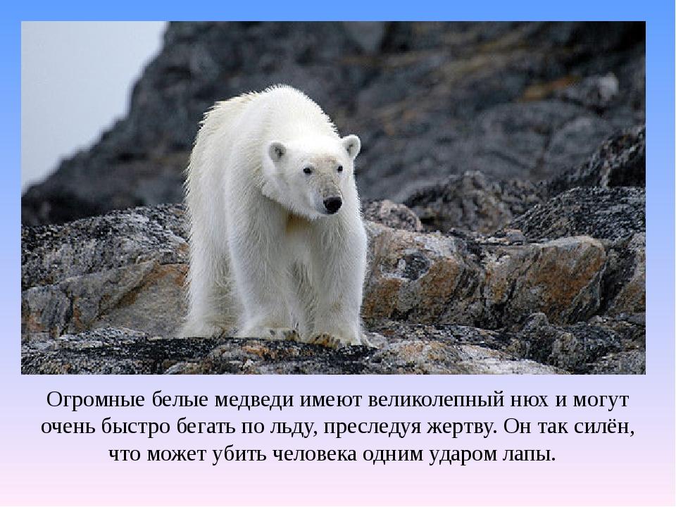 Огромные белые медведи имеют великолепный нюх и могут очень быстро бегать по...