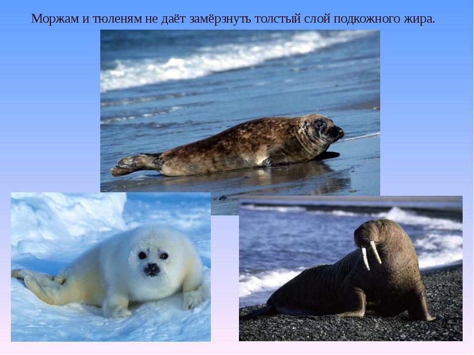 Моржам и тюленям не даёт замёрзнуть толстый слой подкожного жира.