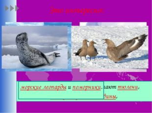 Это интересно: Из наземных животных обитают тюлени, императорские пингвины, м