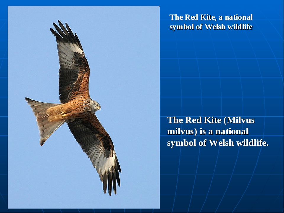 The Red Kite, a national symbol of Welsh wildlife The Red Kite (Milvus milvus...