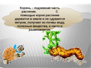Корень – подземная часть растения. С помощью корня растение держится в земле