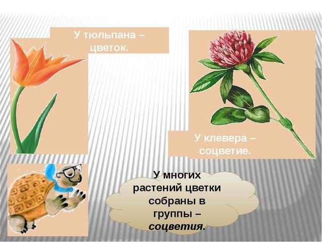 У многих растений цветки собраны в группы – соцветия. У тюльпана – цветок. У...