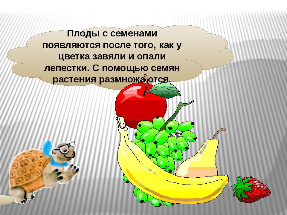 Плоды с семенами появляются после того, как у цветка завяли и опали лепестки....