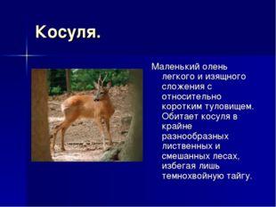 Косуля. Маленький олень легкого и изящного сложения с относительно коротким т